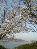 桃色の雪が今年も街を彩る♪